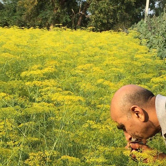 Fennel fields in India #berjeinthefields #berje