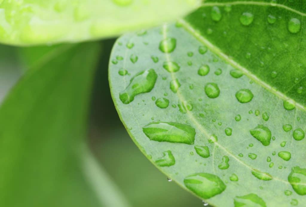 Cinnamon Leaf Oil Ceylon