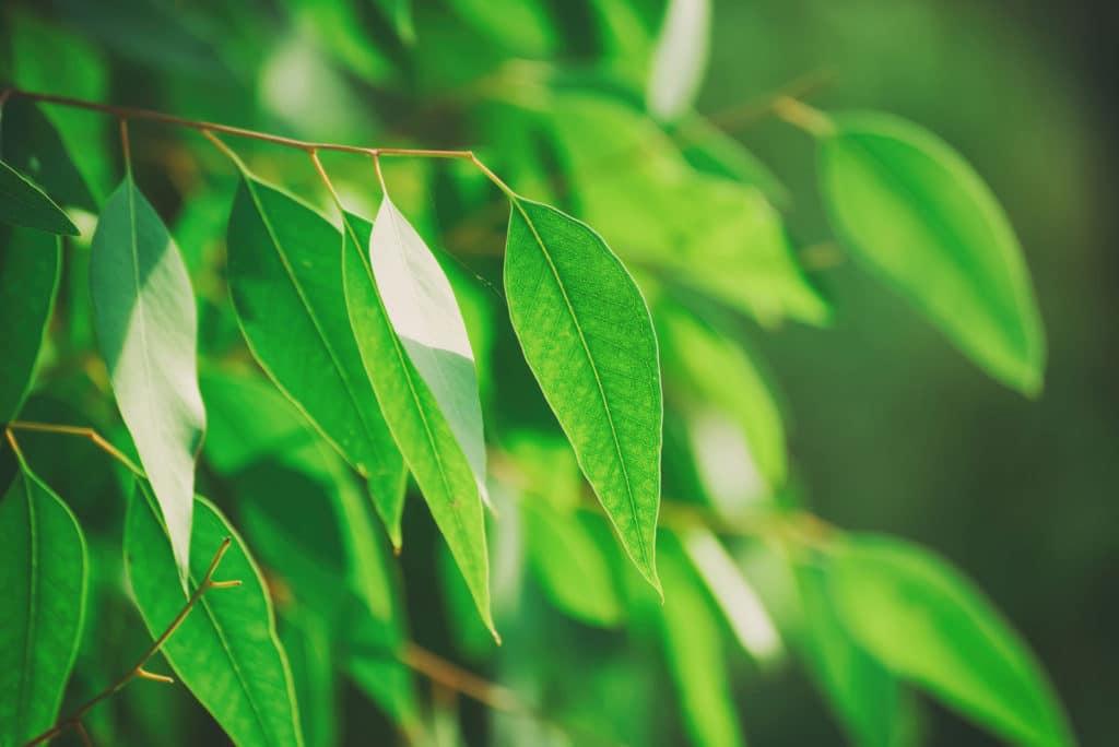 Eucalyptus Citriodora Chinese