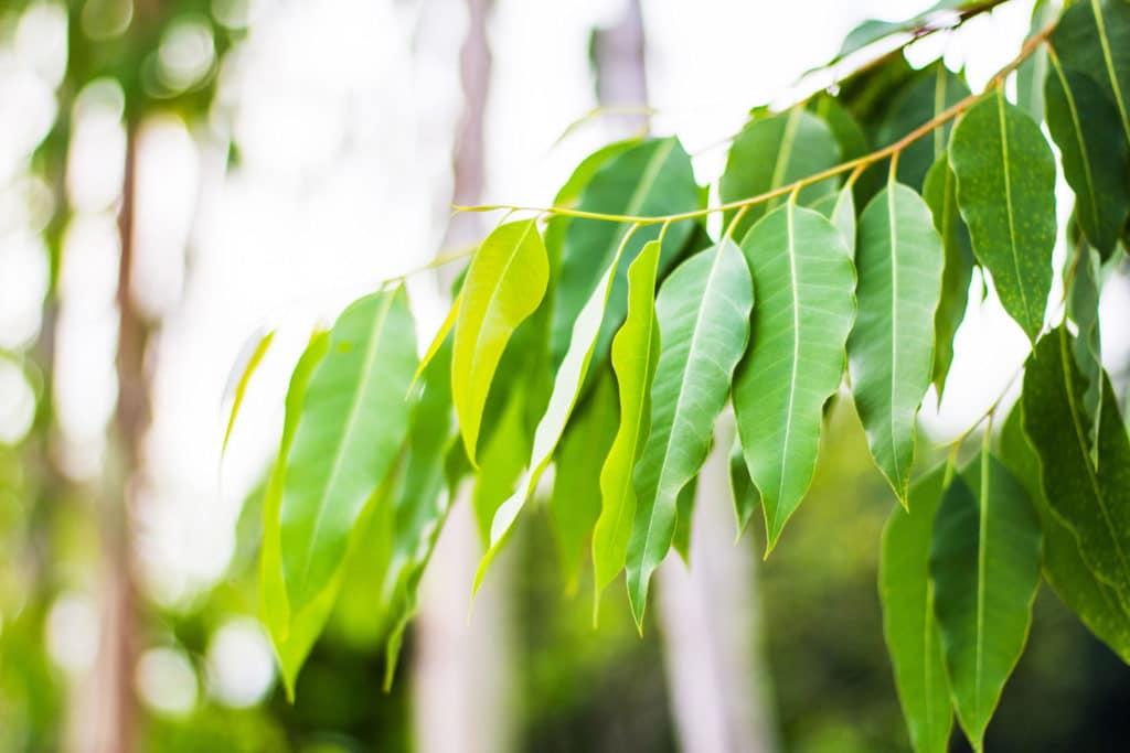 Eucalyptus Oil 70/75