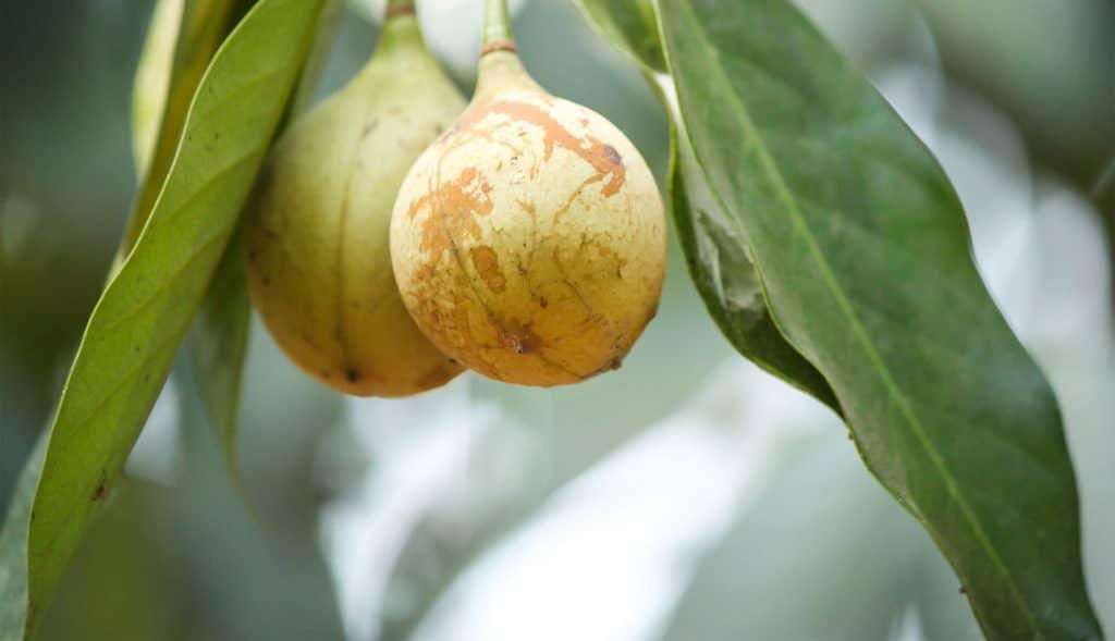 Nutmeg Terpenes