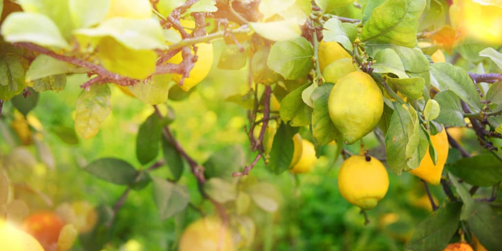 Lemon Essence Oil