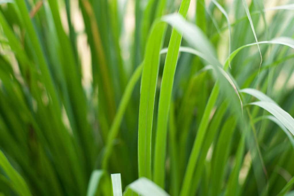 lemongrassoilcochin
