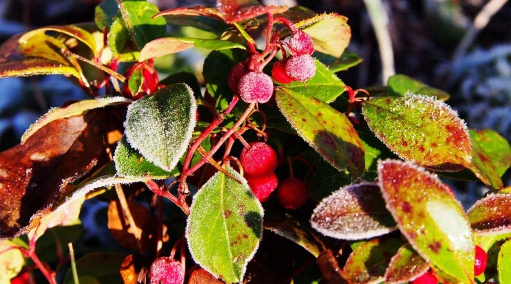 wintergreenoil