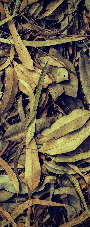 eucalyptuscitriodora