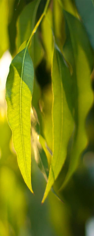 eucalyptuscitriodorachinese