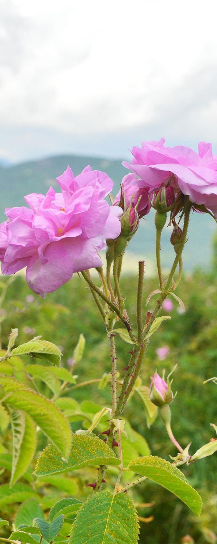 roseoilbulgarian