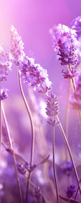 lavenderoilbulgarian