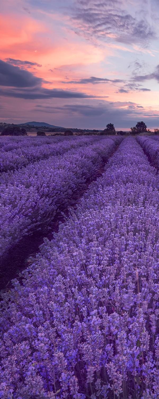 lavenderlavandinoils