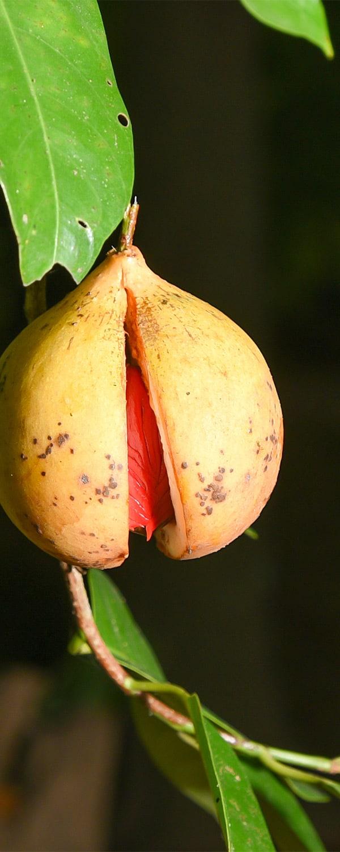 nutmegoilindonesia