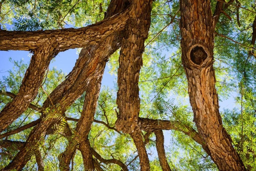 Bois de Rose Oil ex Leaves
