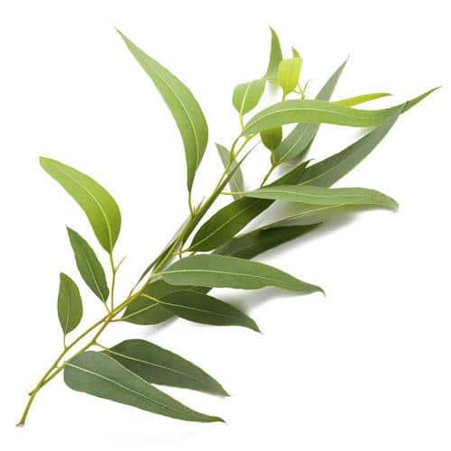 Eucalyptus Citriodora Chinese whitespace