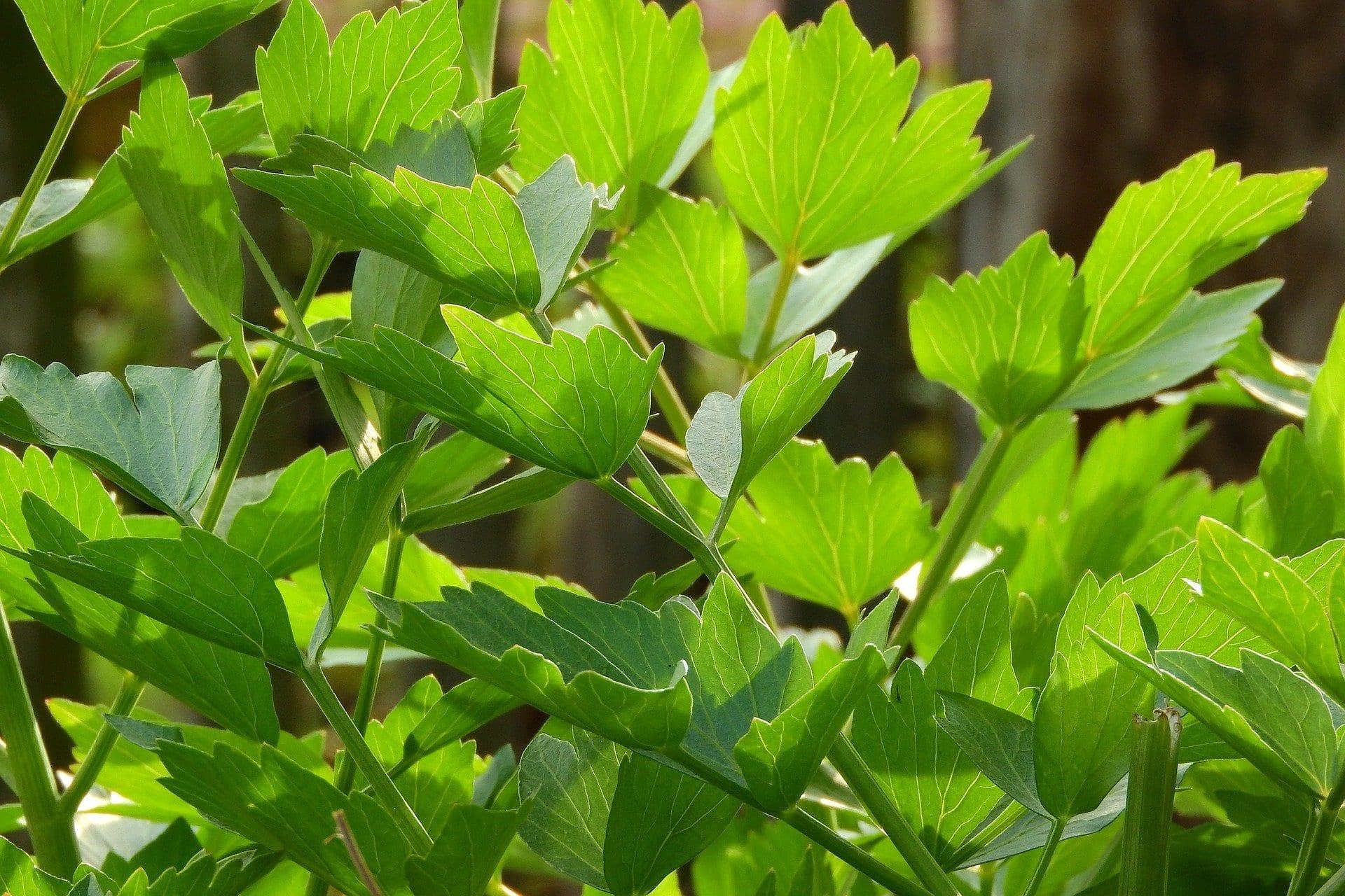 Lovage Leaf Oil