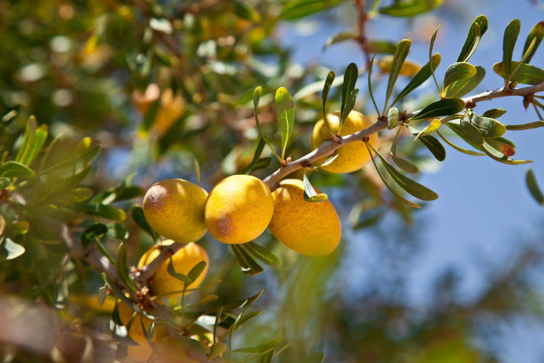 Argan Oil Organic