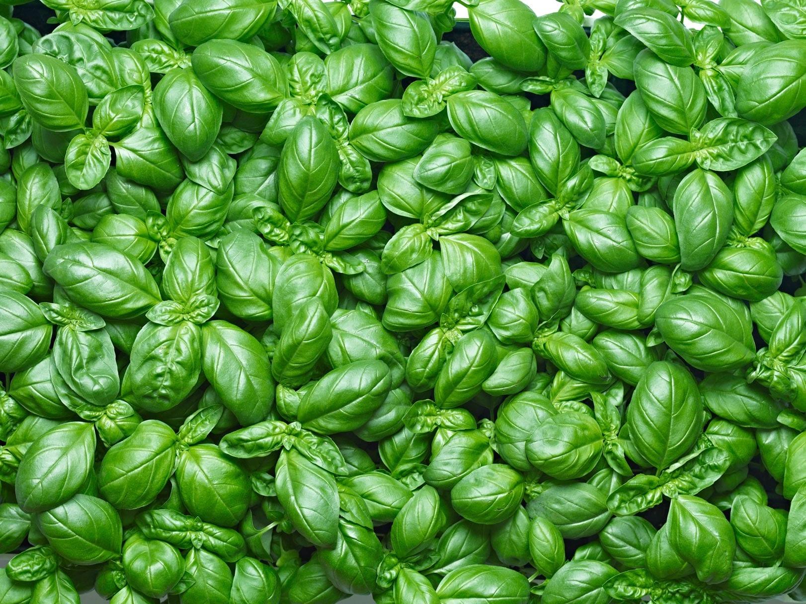 Basil Oil Methyl Chavicol type