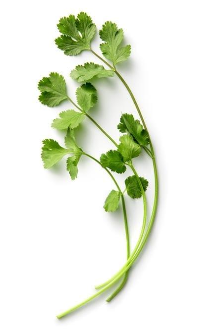 Coriander Herb Oil (Cilantro Oil) whitespace