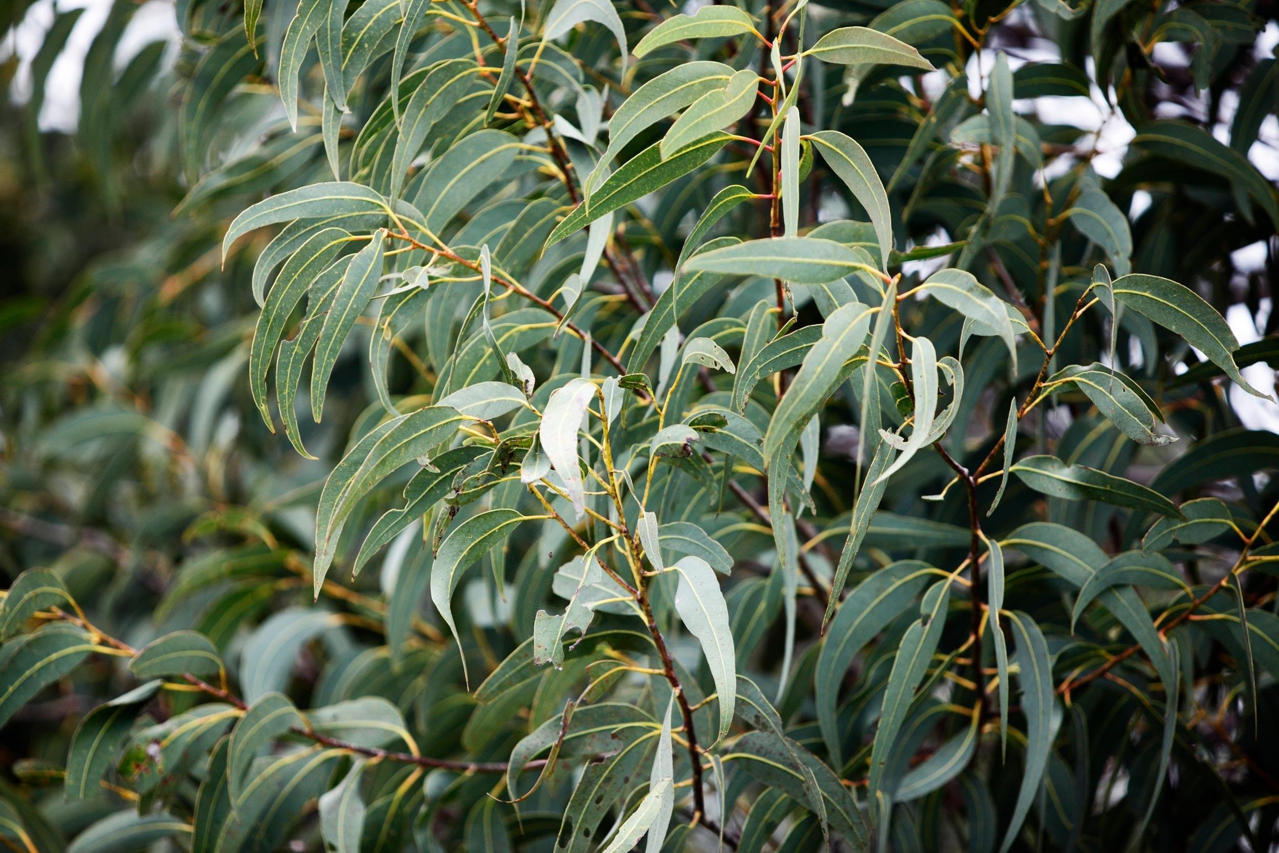 Eucalyptus Oil Citriodora Organic