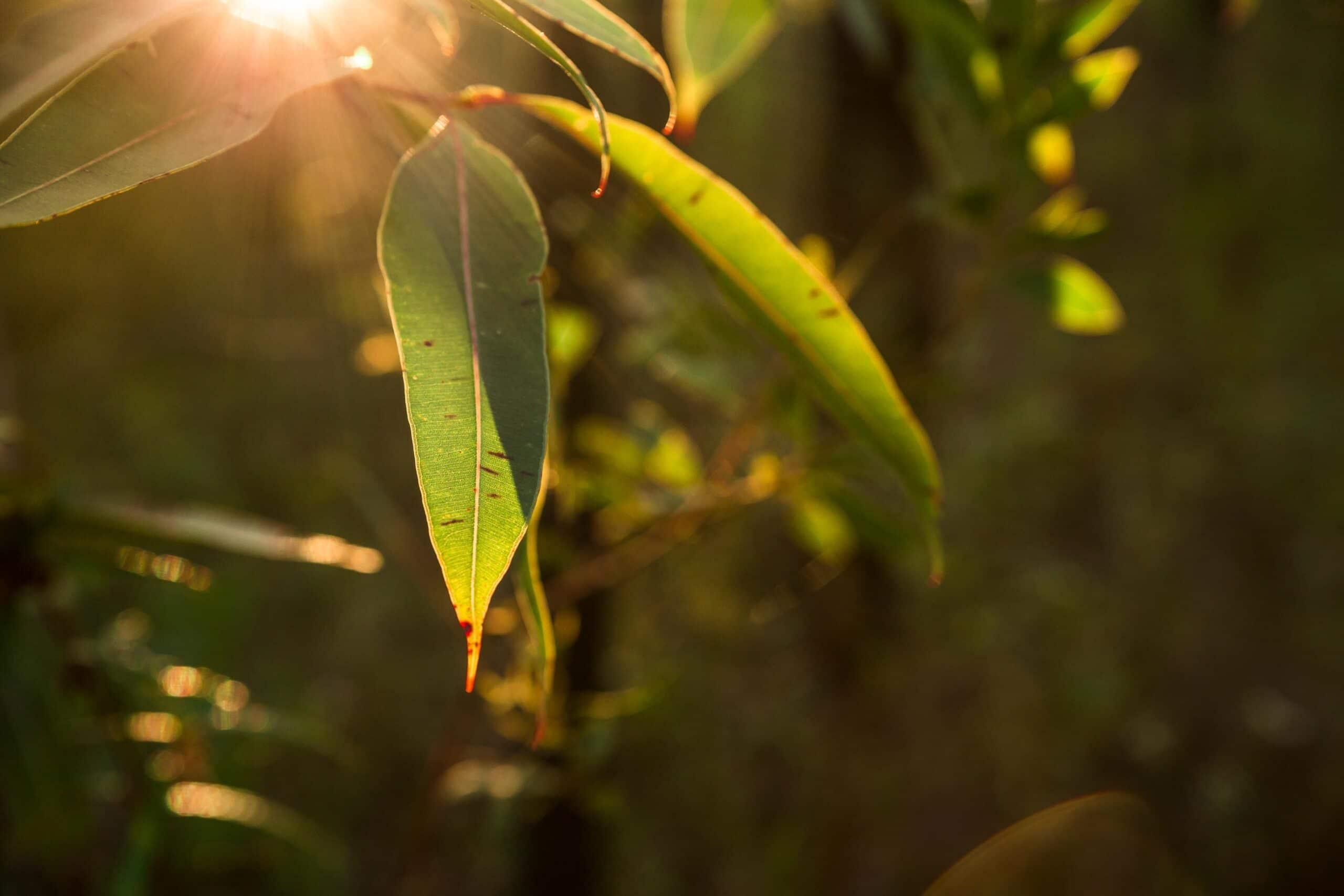Eucalyptus Oil Radiata Organic