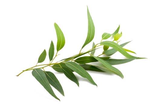 Eucalyptus Oil Citriodora Organic whitespace