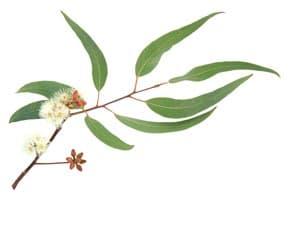 Eucalyptus Oil Radiata Organic whitespace