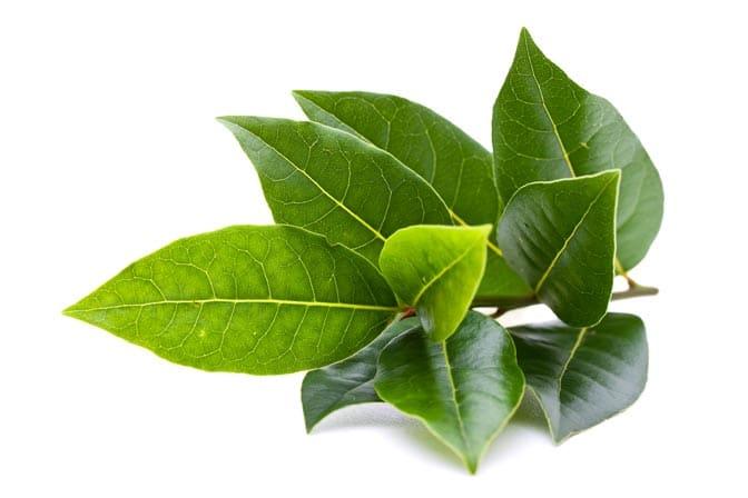 Laurel Leaf Oil Organic whitespace