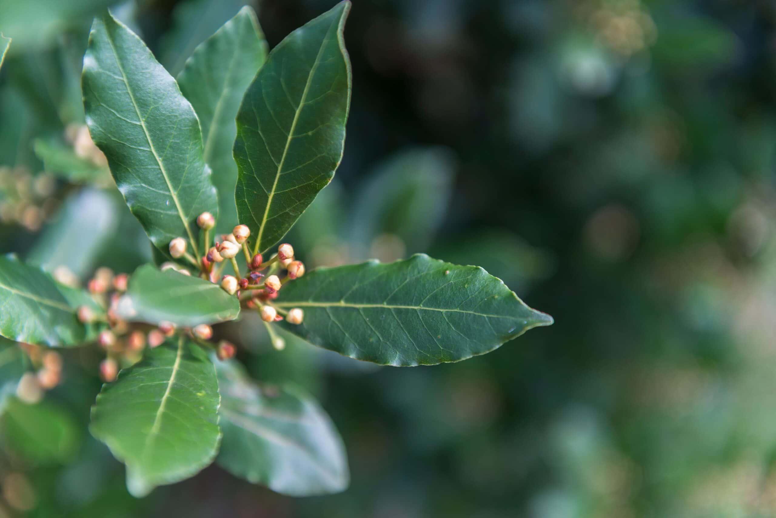 Laurel Leaf Oil Organic