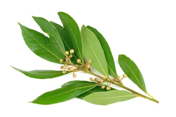 Laurel Leaf Oil whitespace