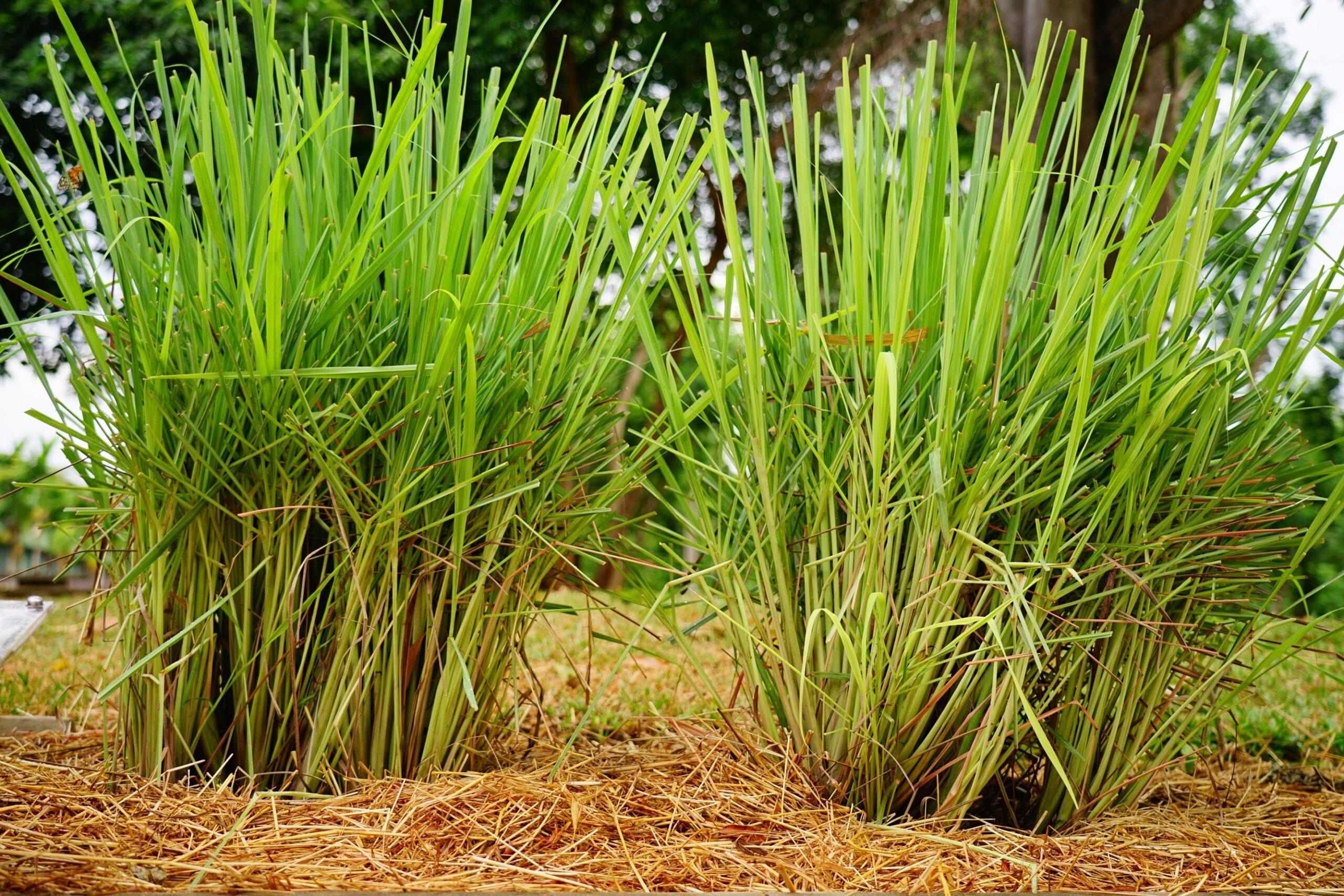 Lemongrass Oil Guatemalan