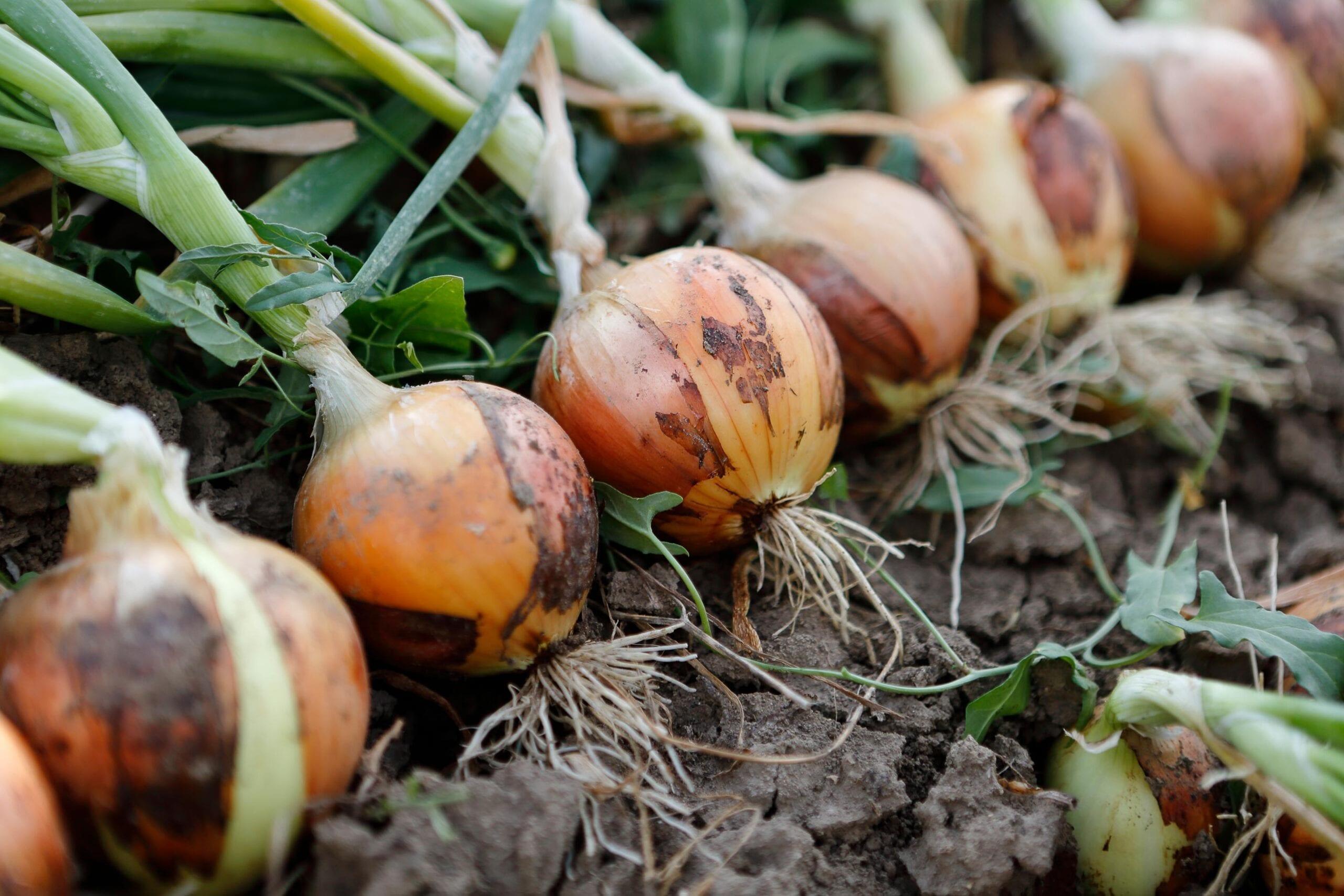 Onion Oil Pure