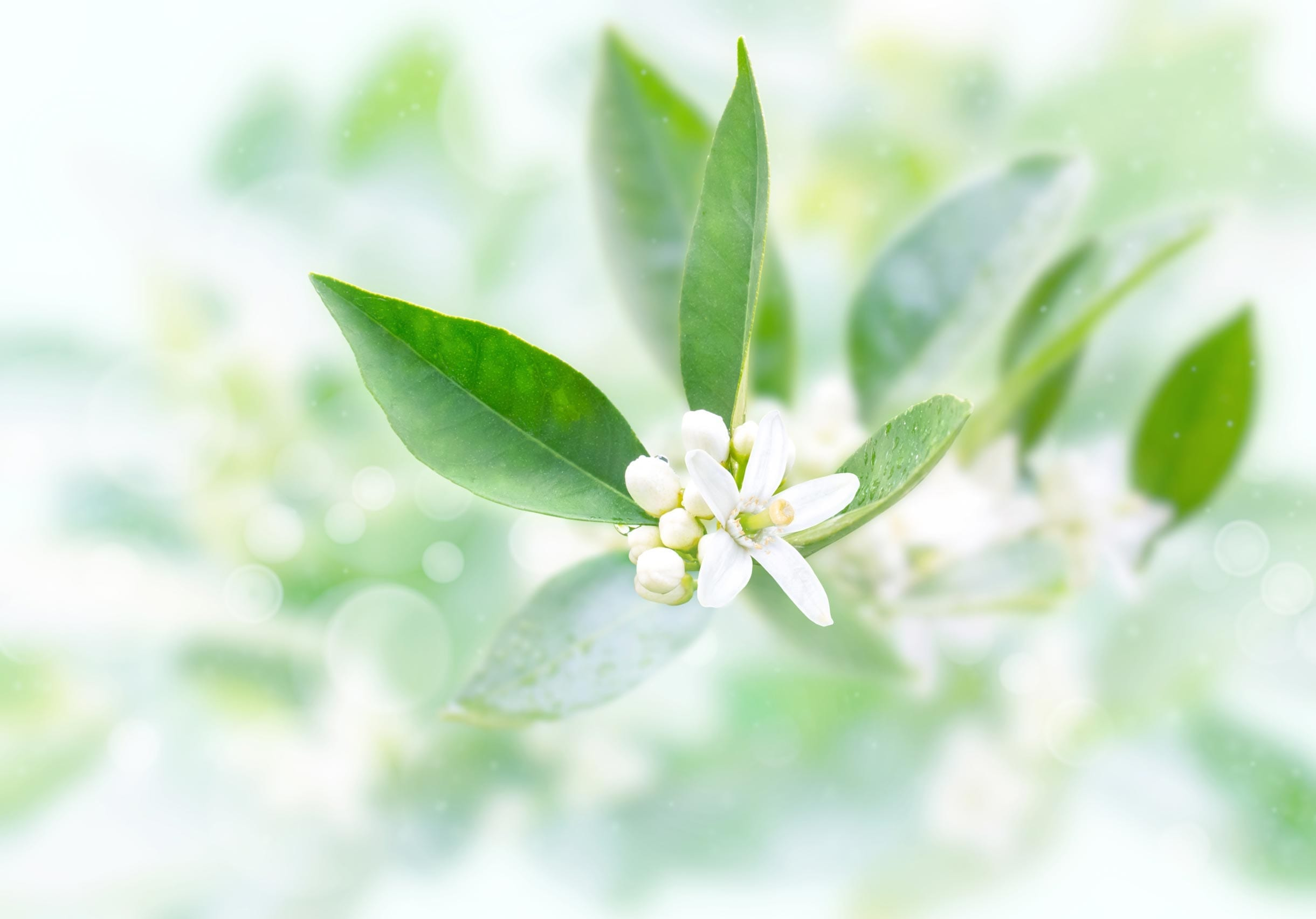 Petitgrain Oil Organic