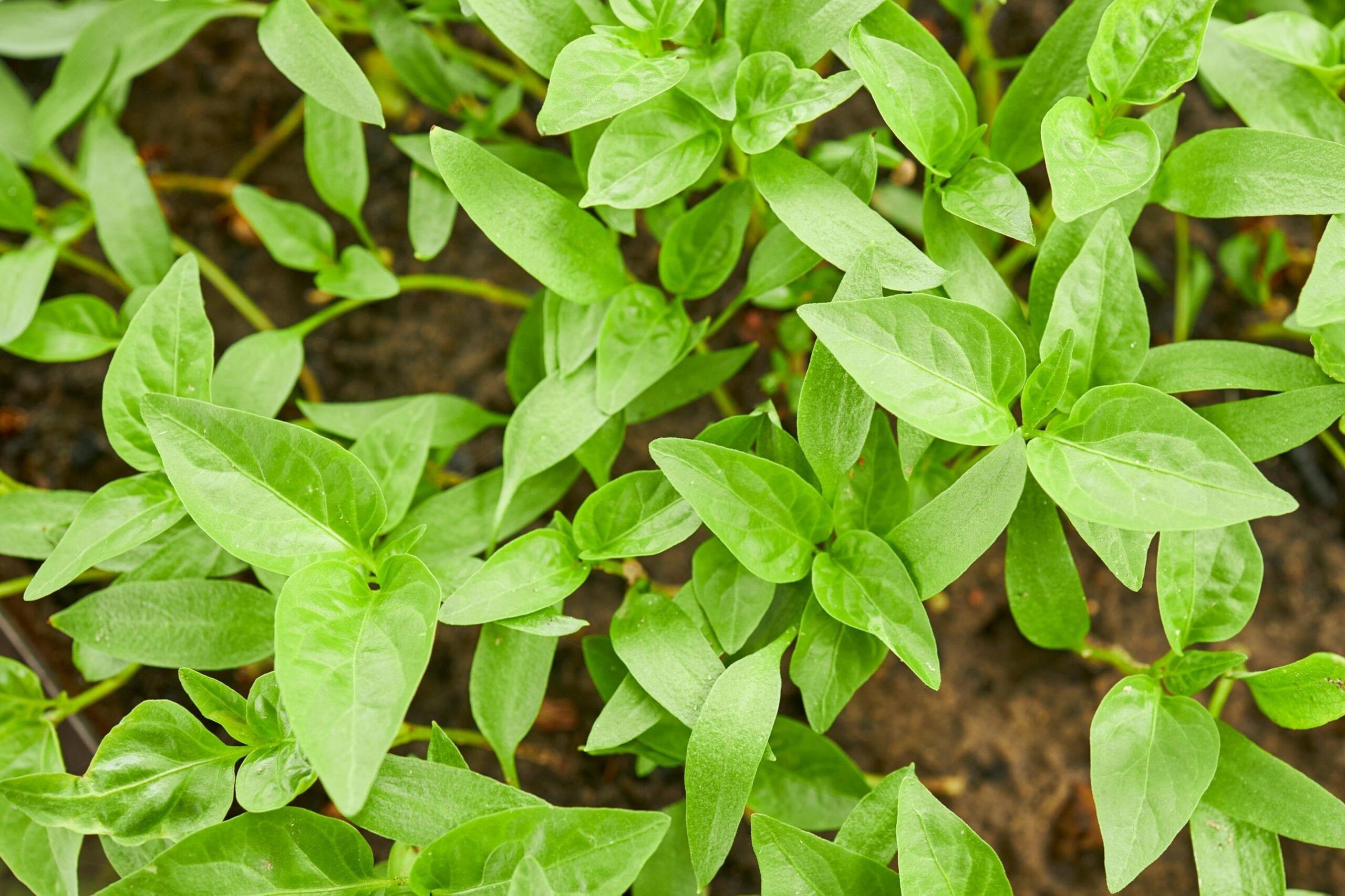 Pimento Leaf Oil