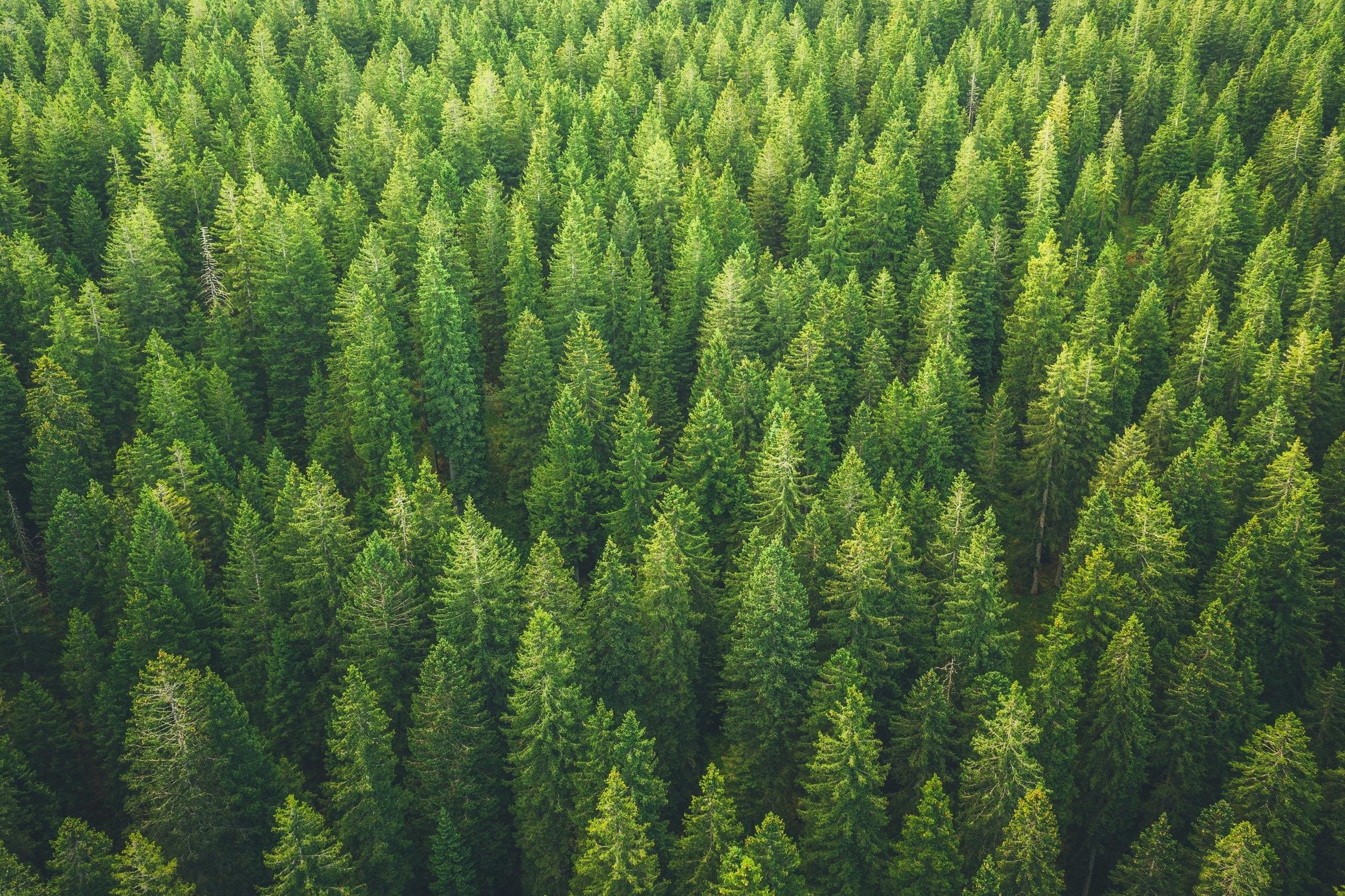 Pinus Oil Pumilio