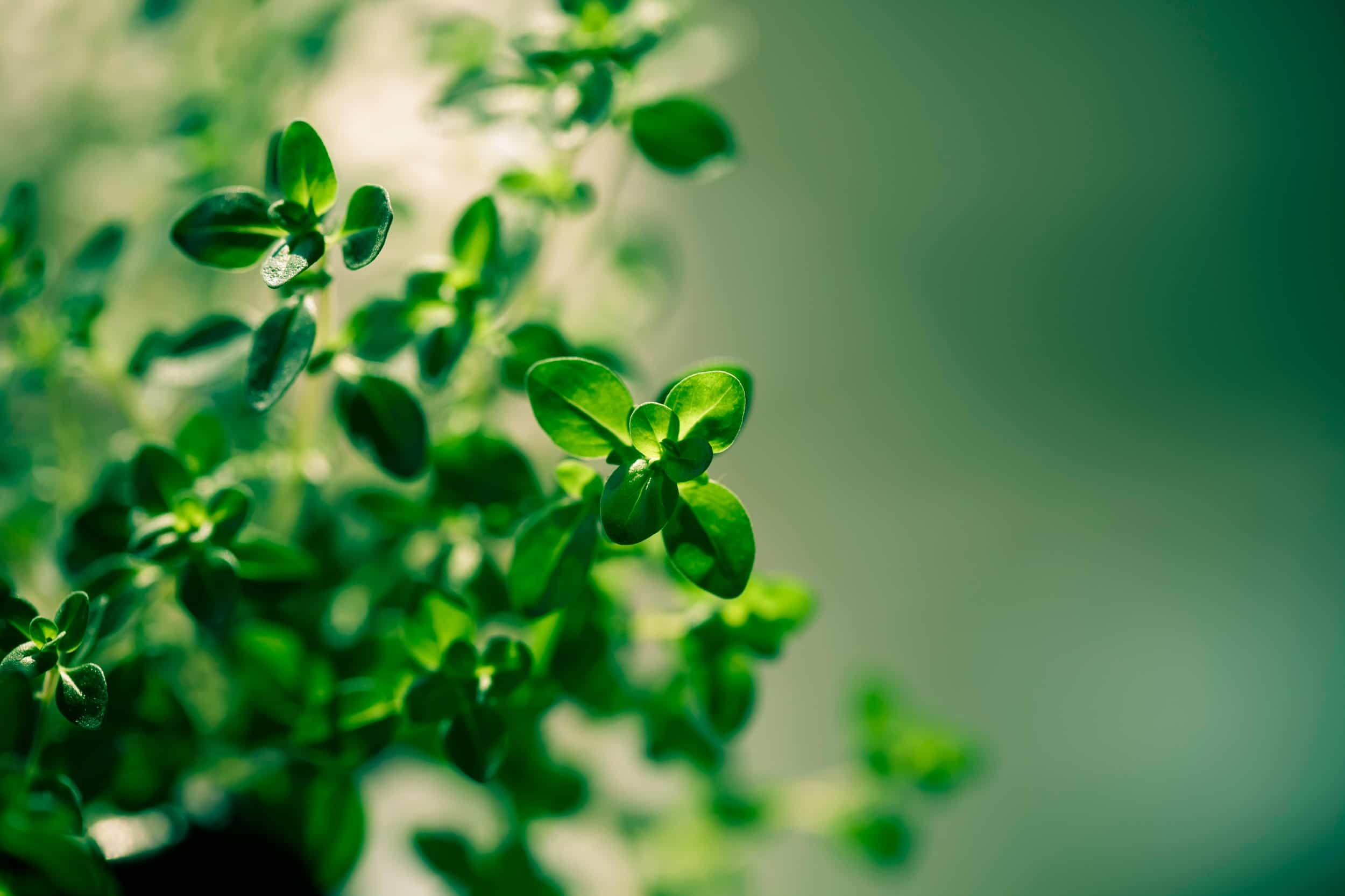 Thyme Oil Organic
