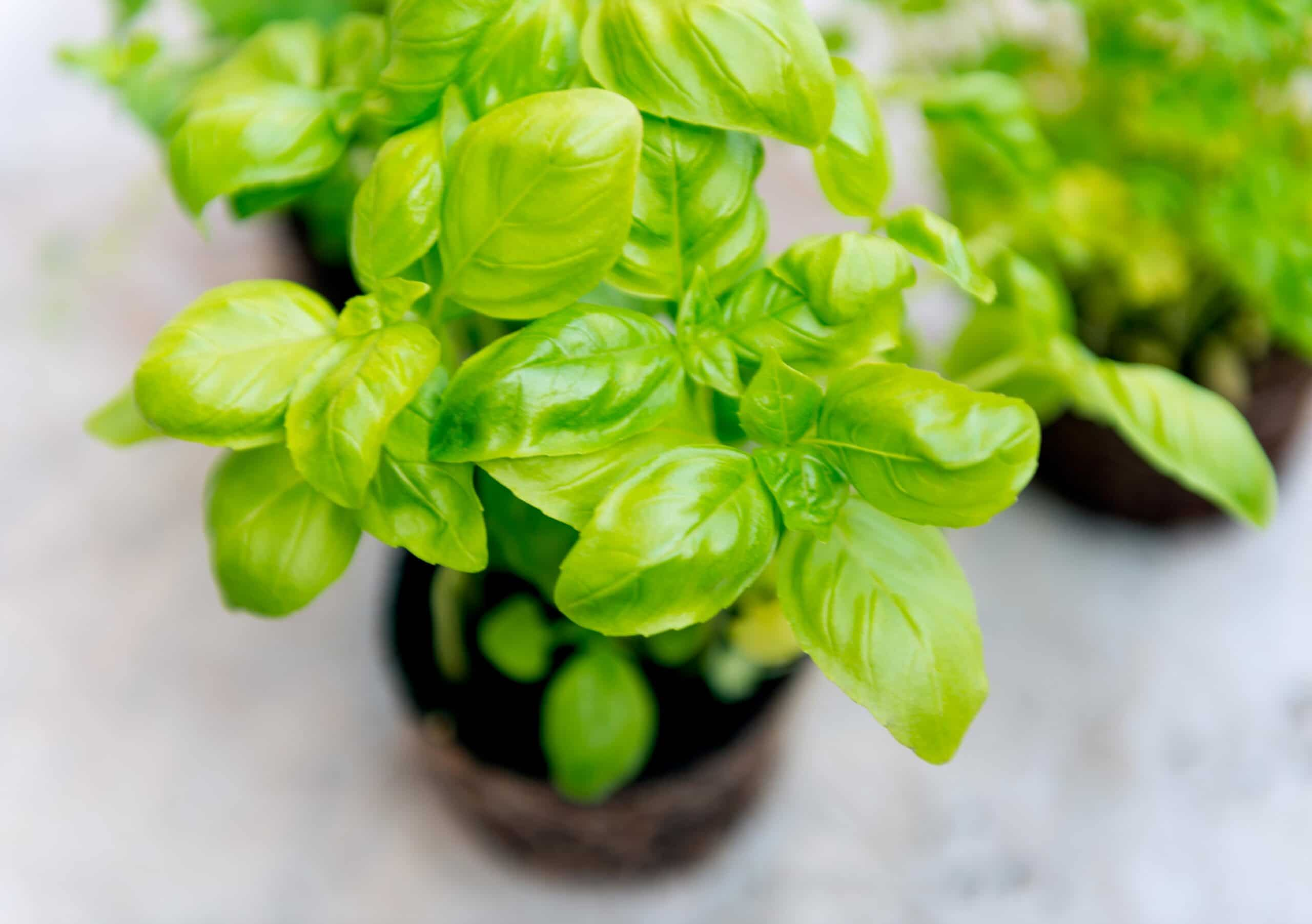 Basil Oil Supply Shortages