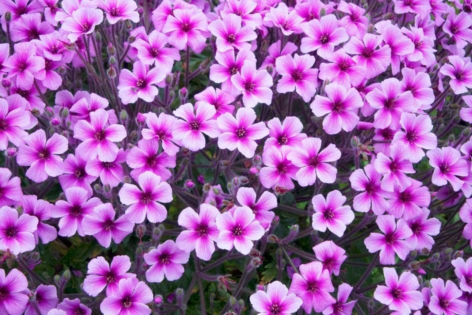 Geranium Rose Oil Organic