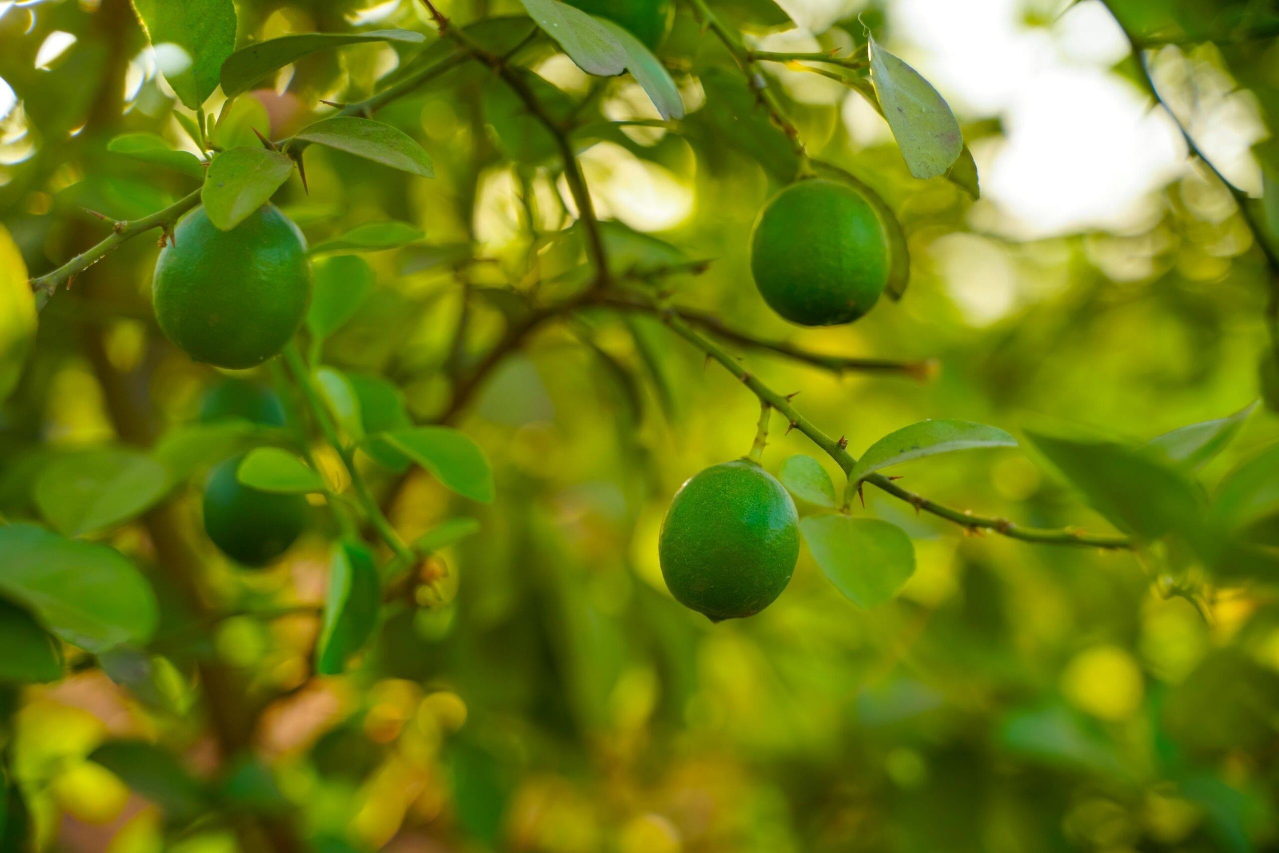Lime Oil Expressed Terpenes