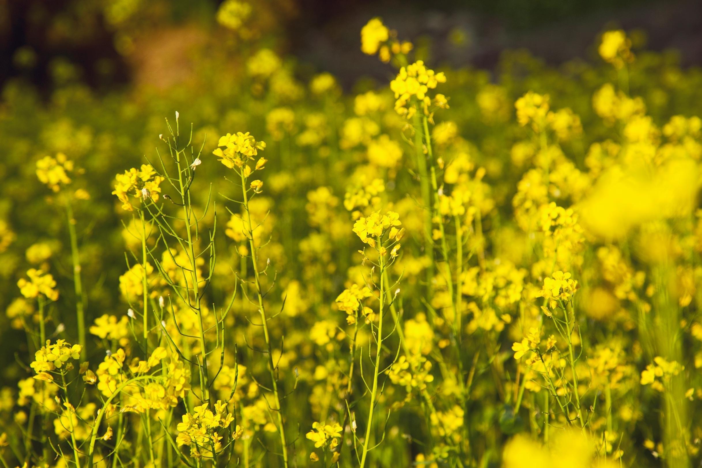 Mustard Oil Synthetic