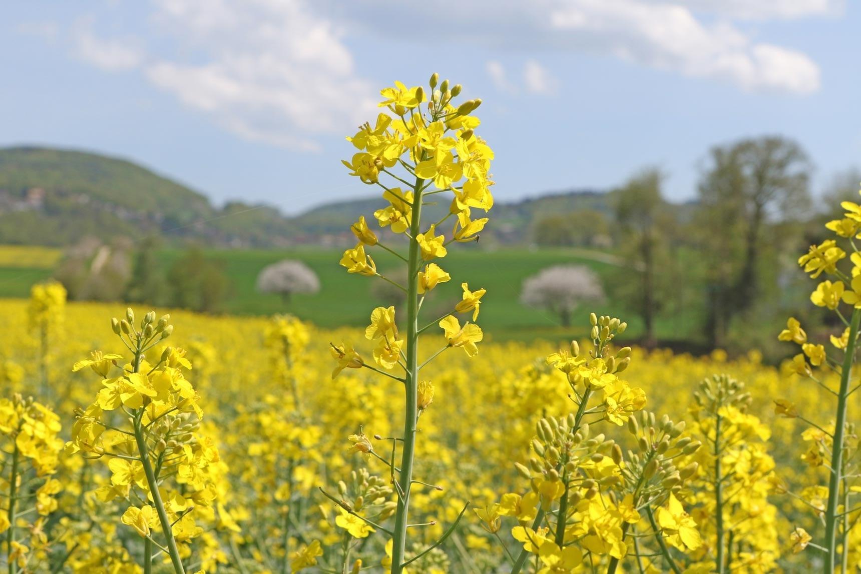 Mustard Oil Natural