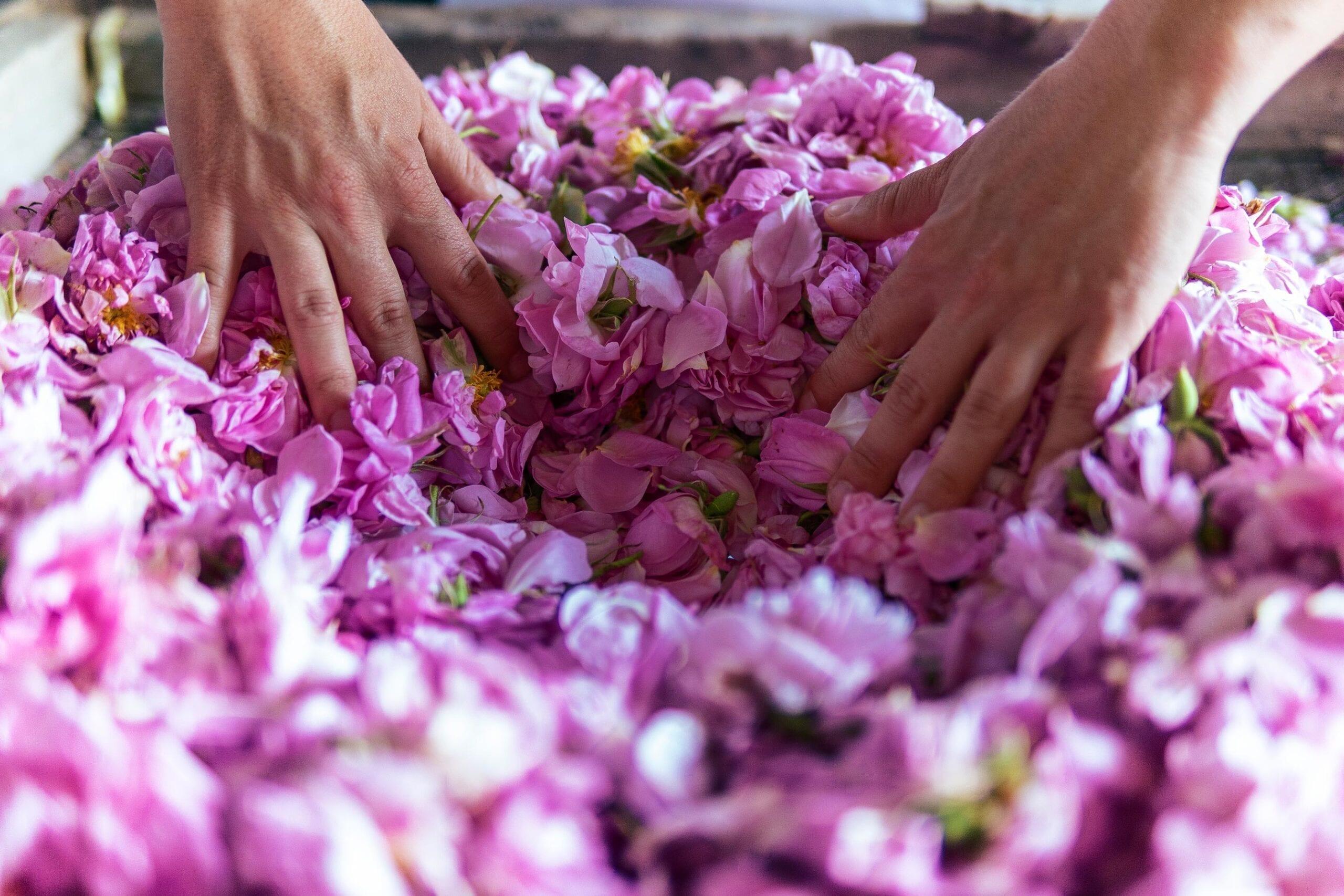 Rose Absolute Maroc