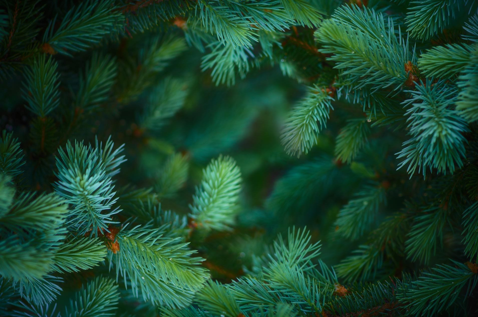 Spruce Absolute