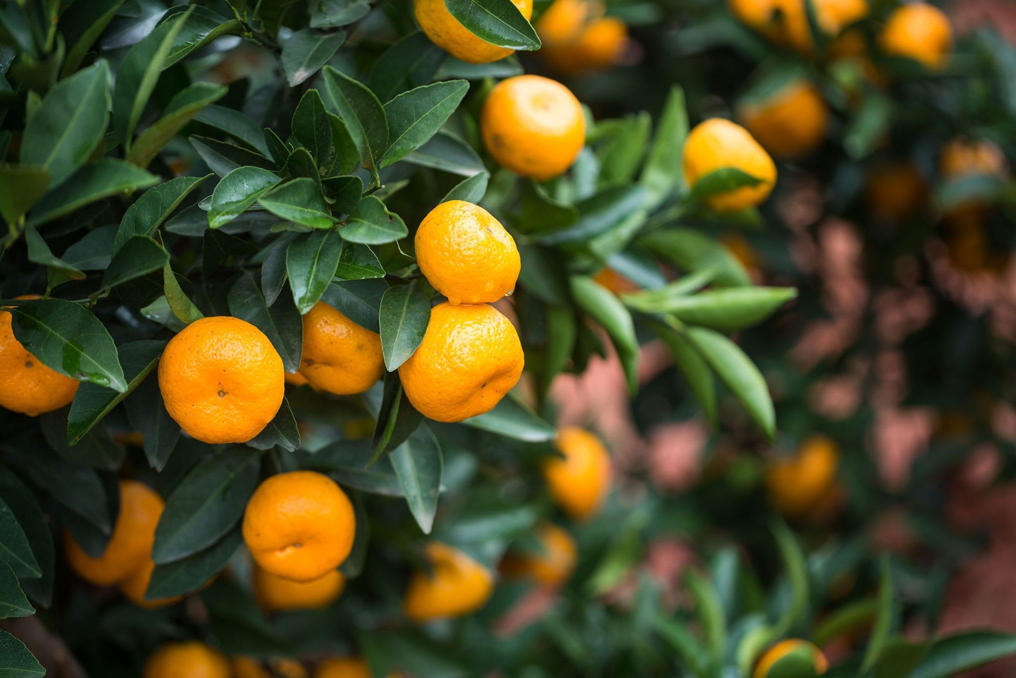 Tangerine Oil CP China